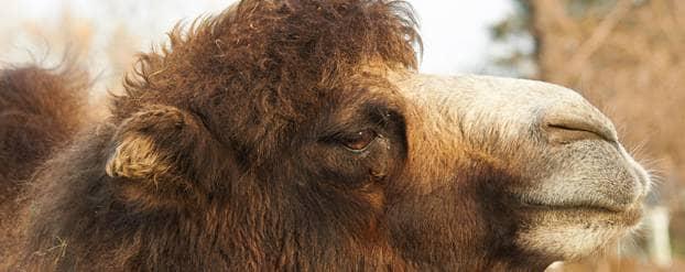 Is kamelenmelk goed bij diabetes?